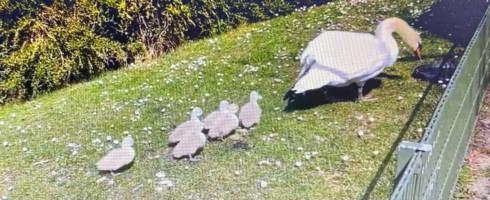 Aan 't Stil Ende in Brugge zijn de eerste zwanenkuikens van dit jaar geboren. De zes kuikens kunnen meteen genieten van het lentezonnetje.