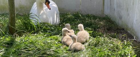 Positief is dat de ouders wel leren uit vorige negatieve ervaringen. Ze maken dan hu nest op een beter verscholen plaats en zijn extra waakzaam over hun kuikens.